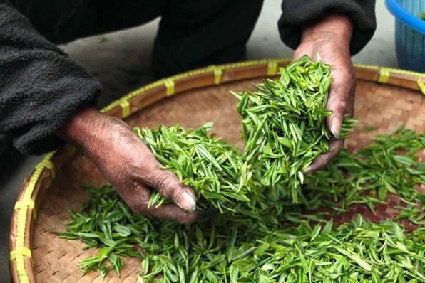 thé vert pour perdre du poids