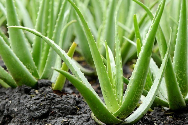 faire une cure d'Aloe Vera