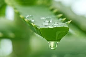 l'aloe vera, une plante pleine de vertus