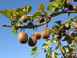 le kiwi fruit sain