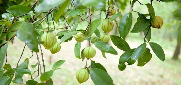 arbre-garcinia-cambodgia